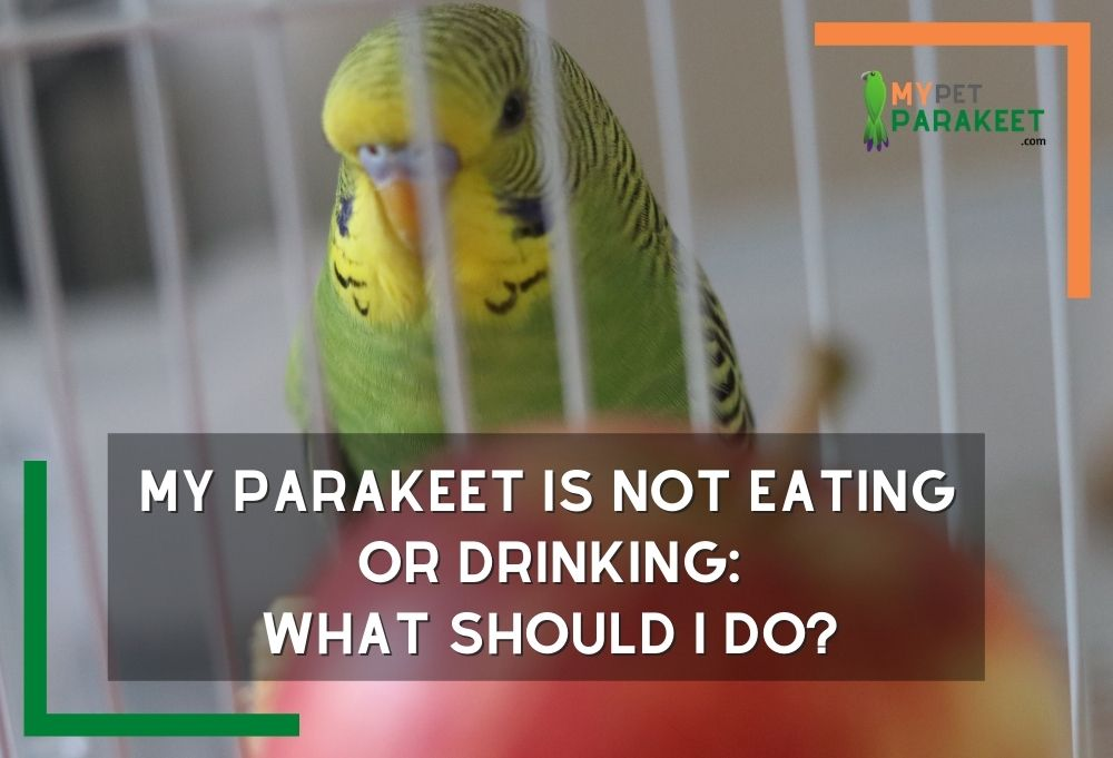 My Parakeet Is Not Eating Or Drinking, What Should I Do?