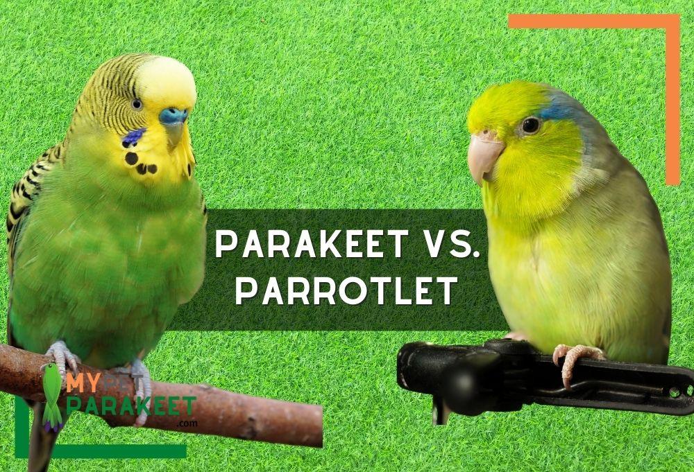 Parakeet Vs. Parrotlet
