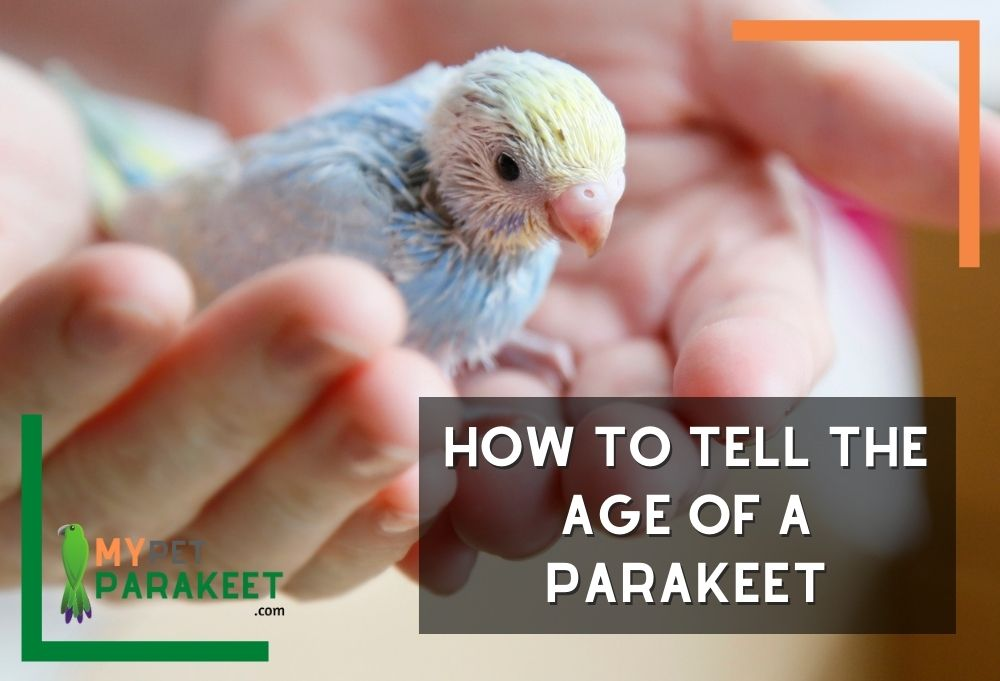 How To Tell The Age Of A Parakeet: Use These Tips To Find Out!