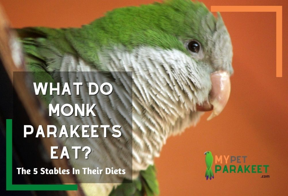 What Do Monk Parakeets Eat?