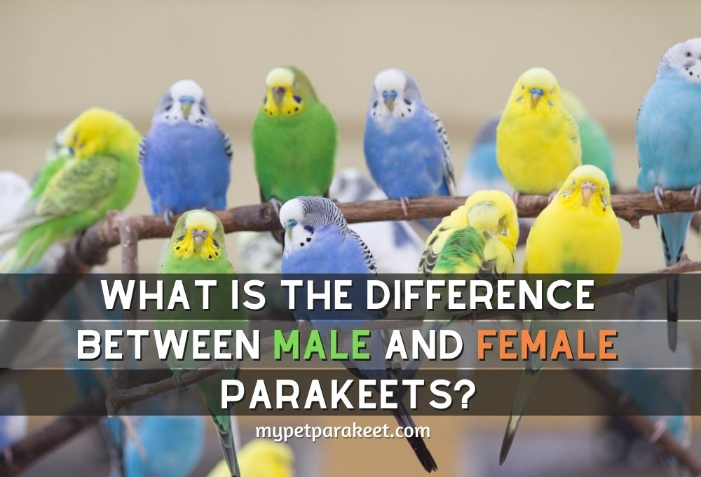 What Is The Difference Between Male And Female Parakeets?
