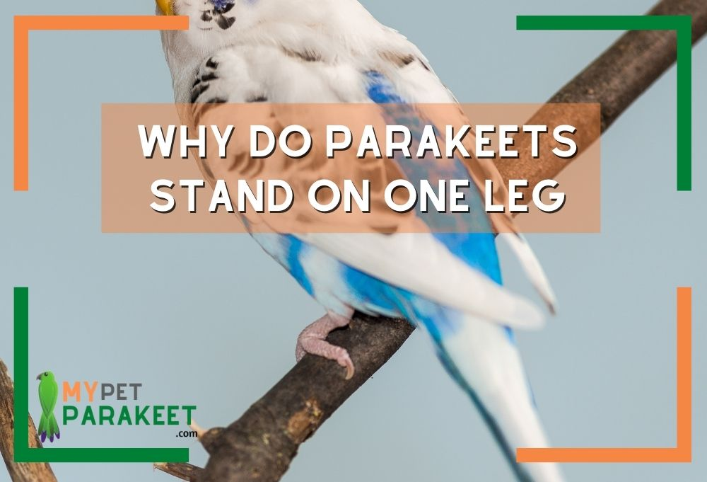 Why Do Parakeets Stand On One Leg