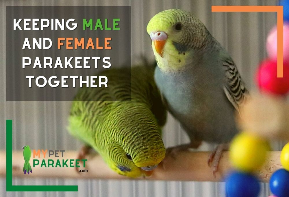 Keeping_Male_And_Female_Parakeets_Together