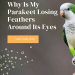 My Parakeet Is Losing Feathers Around Its Eyes - Why?