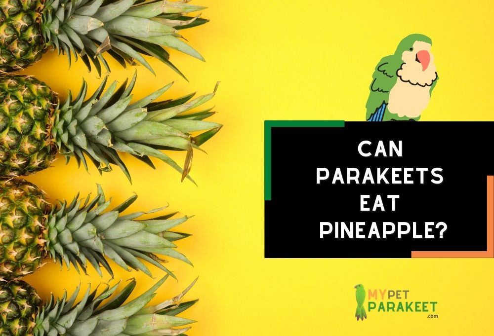 Can Parakeets Eat Pineapple?