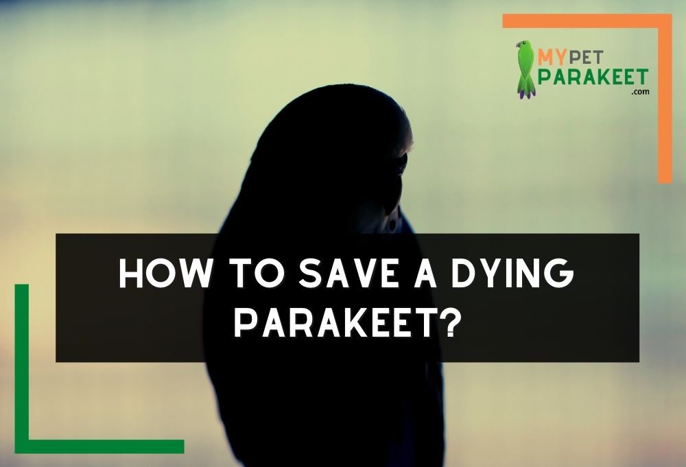 How To Save A Dying Parakeet?