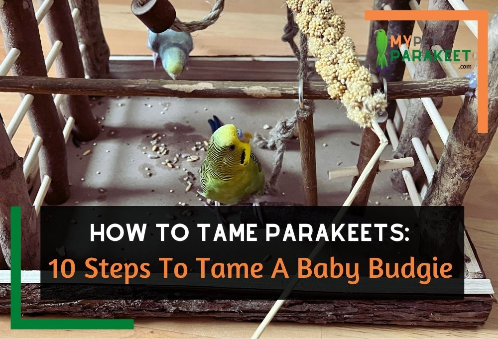 10 Steps To Tame A Baby Budgie