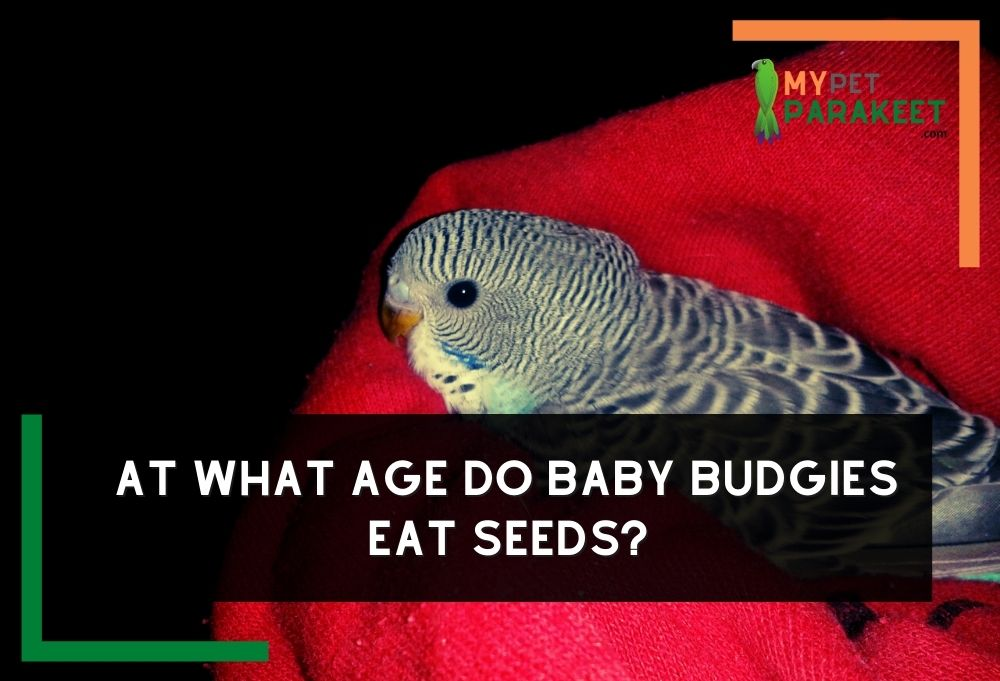 At What Age Do Baby Budgies Eat Seeds?